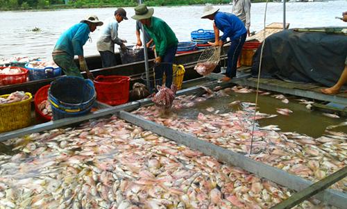Cá chết bất thường kiến nhiều người nuôi lỗ hàng tỷ đồng. Ảnh: An Nam
