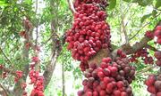 Vườn dâu đỏ chi chít quả trên cao nguyên của lão nông