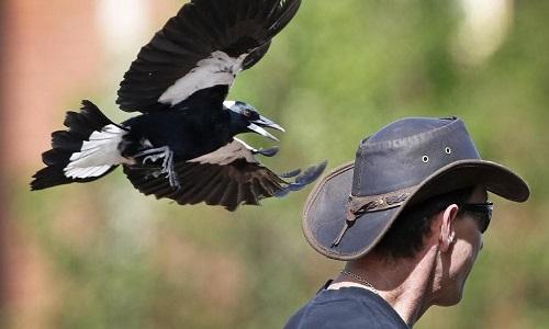 Hành vi đột kích của chim ác là chủ yếu để bảo vệ tổ. Ảnh: Twitter.