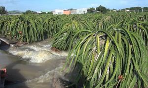 Nhiều vườn thanh long Bình Thuận bị ngập sâu