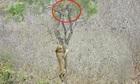 Sư tử leo cây tìm cách đoạt mồi của báo hoa mai