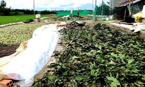 Ngành nông nghiệp địa phương quan ngại việc thương lái ồ ạt thu gom lá nhàu khô. Ảnh: An Nhiên.