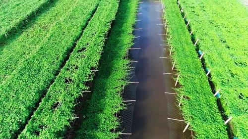 Giàn mướp Nhật rộng 10 ha của HTX rau an toàn Khánh Thành. Ảnh: Bizmedia