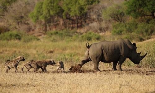 Bầy linh cẩu vội vàng tránh xa khi bị tê giác hất phân vào mặt. Ảnh: Matt Smith.