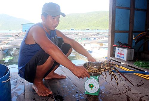 Tôm hùm nuôi trên vịnh Vân Phong (Khánh Hòa) chết, người dân phải bán tháo, mong gỡ vốn. Ảnh: An Phước