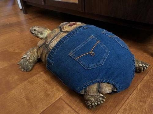 Quần jeans sành điệu cho rùa.