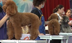 Hàng trăm chú cún tham dự hội thi trang điểm ở Sài Gòn