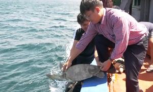 Phú Quốc thả 12 con rùa biển về tự nhiên