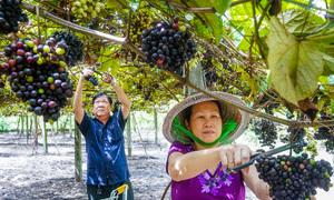 Vườn nho rừng thu hàng trăm triệu đồng mỗi năm dưới chân núi Bà Đen