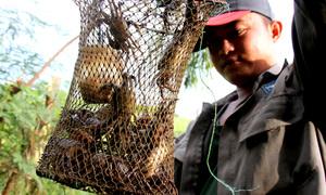 Dùng cá tẩm dầu chuối dụ bắt cua đồng ở Bà Rịa - Vũng Tàu