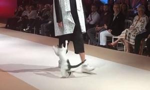 Mèo hoang đi lạc lên sàn diễn thời trang ở Thổ Nhĩ Kỳ