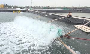 Mô hình nuôi tôm nổi công nghệ cao tại Nam Định
