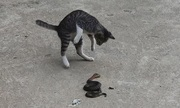 Rắn độc giả chết lừa mèo mướp khi bị tấn công