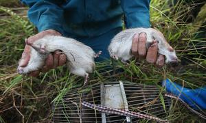 Dân ngoại thành Hà Nội đổ nước ngập hang bắt chuột đồng