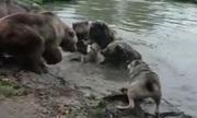 Bầy gấu xé xác sói trong vườn thú Hà Lan