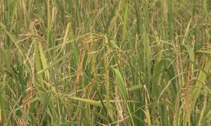 Nông dân Thái Bình bỏ ruộng vì nạn chuột hoành hành