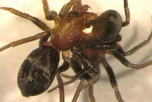 Biết sẽ bị nhện cái ăn thịt sau giao phối sao nhện đực không tránh?