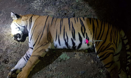 Hổ T1 sau khi bị thợ săn Ấn Độ bắn chết. Ảnh: AFP.