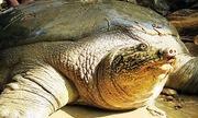 Hà Nội lên kế hoạch ghép đôi rùa Hoàn Kiếm