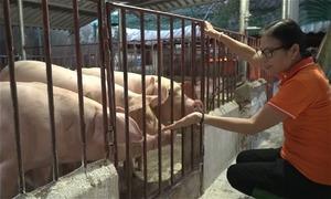 Nông dân Hà Nội thu gần 2 tỷ đồng mỗi năm nhờ cho lợn nghe nhạc