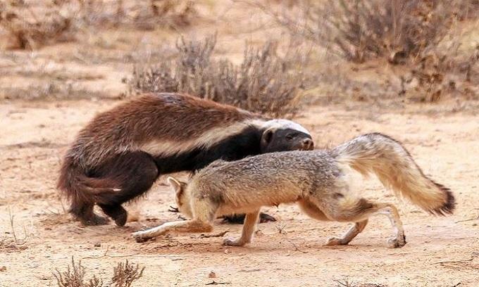 Mò vào hang cáo săn con non, lửng mật bị cắn túi bụi