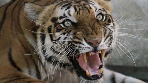 Một con hổ Bengal trong sở thú ở Ahmadabad, Ấn Độ năm 2011. Ảnh: AP.