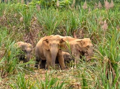 Đàn voi rừng ở vườn quốc gia Pù Mát trong một lần về phá ruộng mía của người dân.