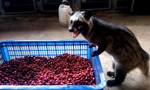 Nông dân Bình Phước nuôi chồn lấy cà phê