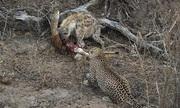 Cuộc chiến giành mồi giữa linh cẩu và 4 con báo hoa mai