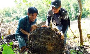 Người dân vào rừng đào tổ mối về vỗ béo cho gà