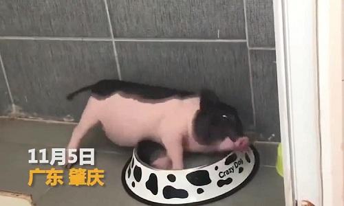 Chú lợn được nuôi trong ký túc xá. Ảnh: Next Shark