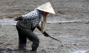 Dùng cây sắt cào sình bắt sò huyết ở Vũng Tàu