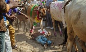 Người Ấn Độ nằm cho bò giẫm đạp để lấy may