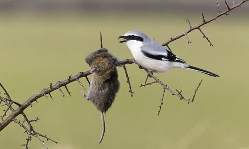 Chim bách thanh treo xác chuột trên cành gai nhọn. Ảnh: Duncan Usher.