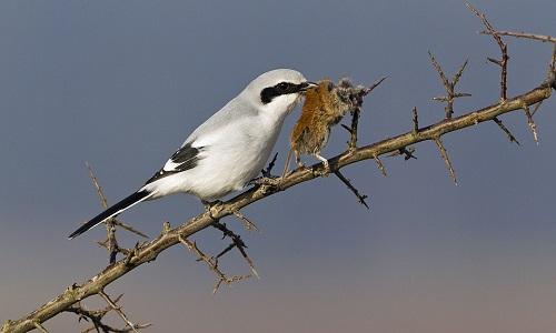 Chim bách thanh tận hưởng bữa ăn trên cành gai. Ảnh: Duncan Usher.