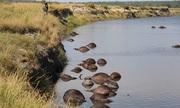 Chạy trốn sư tử, hơn 400 con trâu chết thảm dưới sông