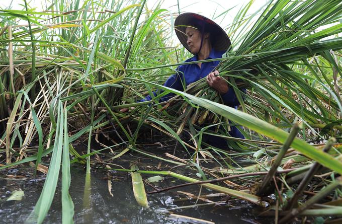 Người dân ngâm mình trong nước khai thác củ niễng