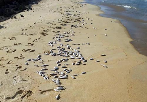 Cá chết dạt vào 2km bờ biển Đà Nẵng chiều 10/11. Ảnh: Đ.X.