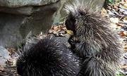 Nhím là động vật kiên nhẫn nhất chờ bạn tình đồng ý giao phối?