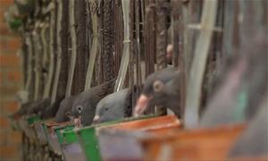 Trang trại nuôi bồ câu thu 100 triệu đồng mỗi tháng ở Sài Gòn