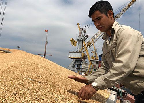 Công nhân bốc dỡ tại cảng Vật Cách, Hải Phòng nhặt hoa cỏ kế đồng lẫn trong lúa mì. Ảnh chụp ngày 8/11. BN