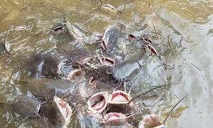 Đàn cá 'khủng' trong ngôi chùa ở Huế