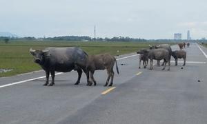 Tỉnh lộ thành bãi chăn bò ở Hà Tĩnh