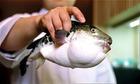 Doanh nghiệp xin mua cá nóc để xuất khẩu