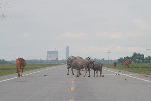 Ít được sử dụng, đường trở thành nơi đi lại cho trâu bò, phóng uế bừa bãi. Ảnh: Đức Hùng