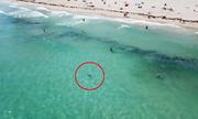 Cá mập bơi giữa đám đông người tắm biển ở Mỹ