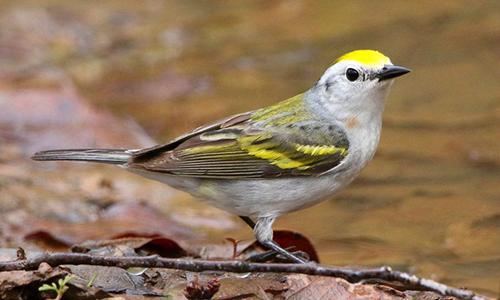 Chim chích lai mang gene di chuyền của ba loài. Ảnh: Forbes.