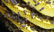 Dụ đàn ong ruồi về nhà nuôi lấy mật