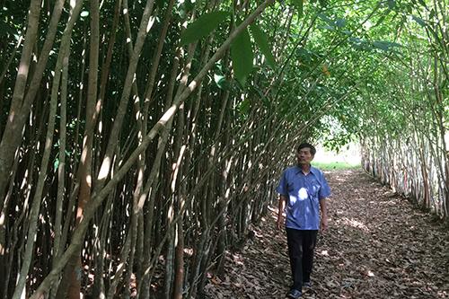 Vườm ươm cao su giống bỏ hoang nên cây lên to lớn sau 11 năm. Ảnh:Hoàng Táo