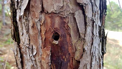 Thân cây thông ở Lâm Đồng bị khoan lỗ, bơm thuốc độc đang chết dần. Ảnh: Khánh Hương